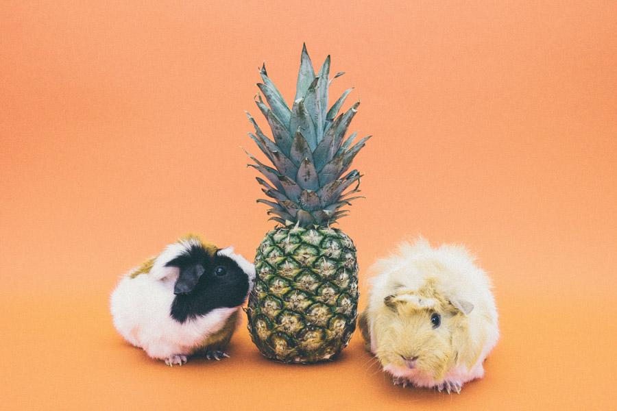 フリー写真 パイナップルとモルモット