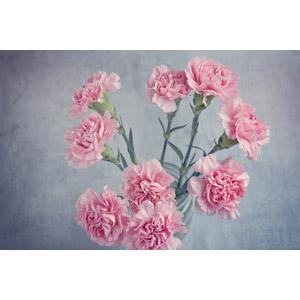 フリー写真, 植物, 花, カーネーション, ピンク色の花, 母の日, 年中行事, 5月