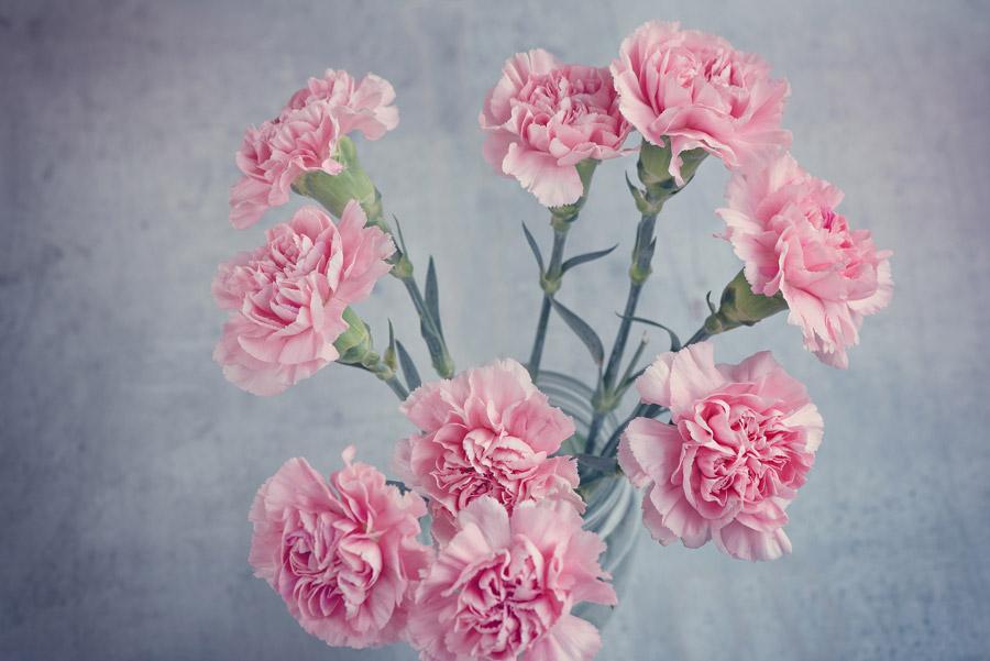 フリー写真 ピンク色のカーネーション