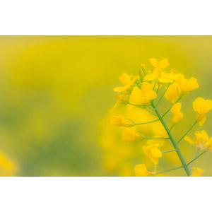 フリー写真, 植物, 花, 菜の花(アブラナ), 黄色の花, 黄色(イエロー), 春