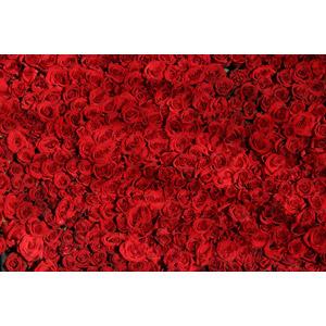 フリー写真, 植物, 花, 薔薇(バラ), 赤色の花, 赤色(レッド)