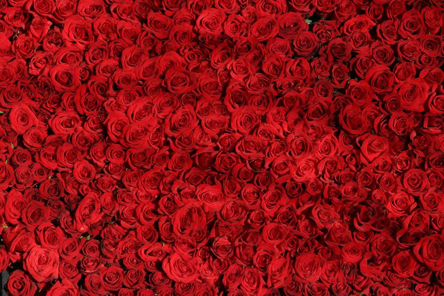 フリー写真 一面のバラの花