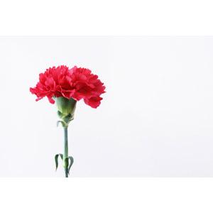 フリー写真, 植物, 花, カーネーション, 赤色の花, 年中行事, 母の日, 5月, 白背景
