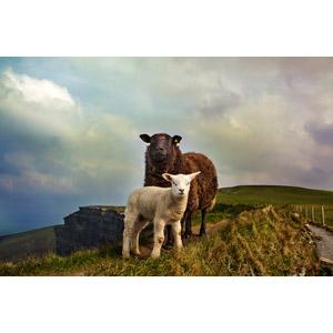 フリー写真, 動物, 哺乳類, 羊(ヒツジ), 子供(動物), 親子(動物)