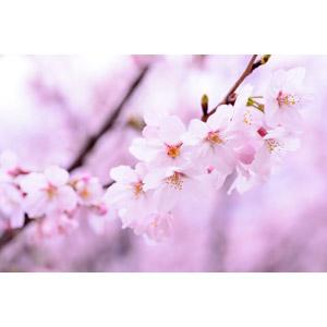 フリー写真, 植物, 花, 桜(サクラ), ピンク色, 春