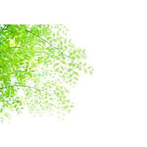 フリー写真, 植物, 葉っぱ, 新緑