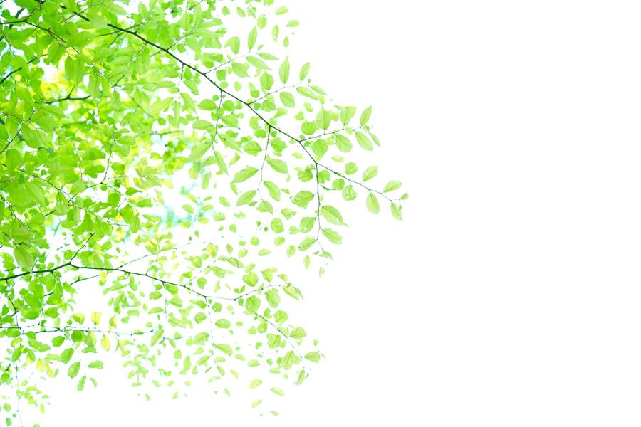 フリー写真 新緑の葉