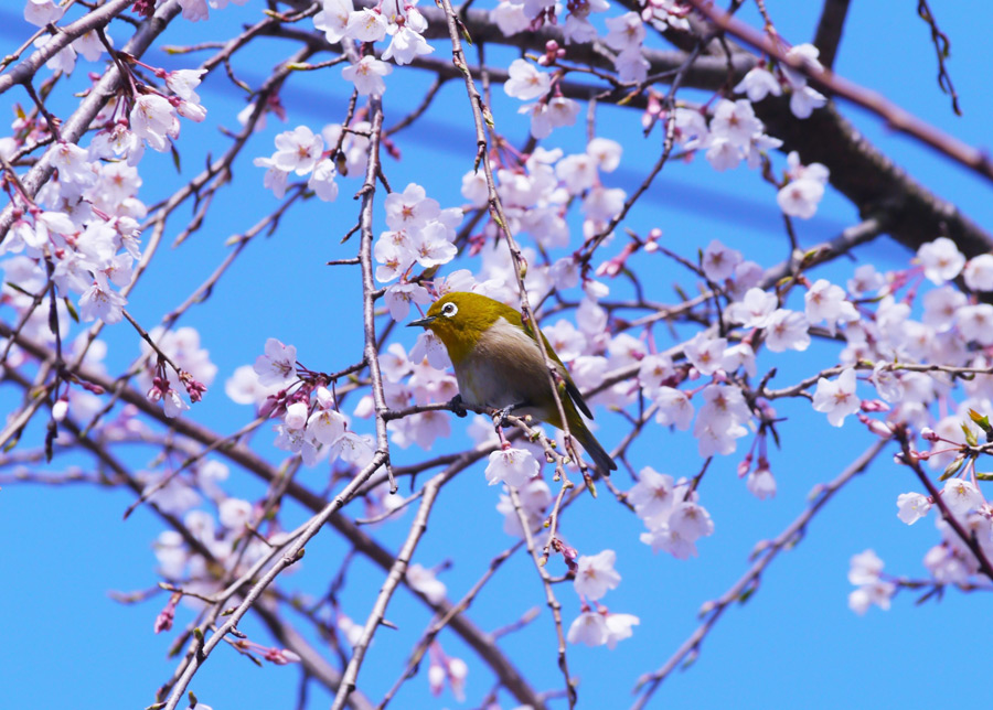 フリー写真 しだれ桜とメジロ