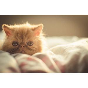 フリー写真, 動物, 哺乳類, 猫(ネコ), 子猫, ペルシャ猫, 子供(動物)