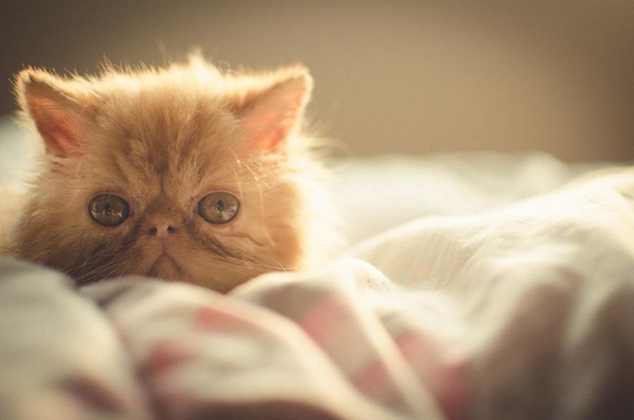 フリー写真 ペルシャの子猫