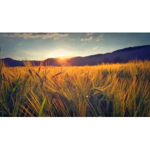 フリー写真, 畑, 麦(ムギ), 穀物, 夕暮れ(夕方), 夕日, スイスの風景