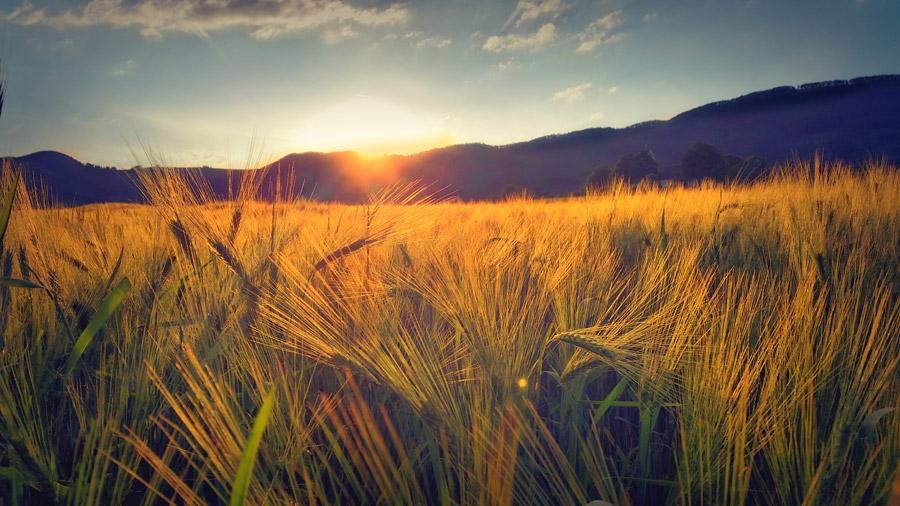 フリー写真 夕陽と麦畑の風景