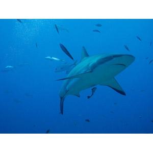 フリー写真, 動物, 魚類, 鮫(サメ), 魚(サカナ), 水中, 青色(ブルー)