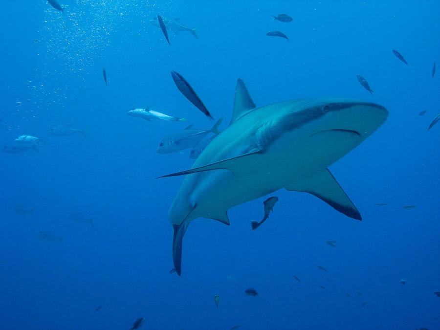 フリー写真 ロアタン島の海を泳ぐサメ
