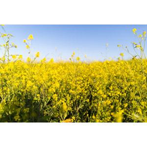 フリー写真, 風景, 植物, 花, 菜の花(アブラナ), 黄色の花, 春, 畑, 花畑, 青空