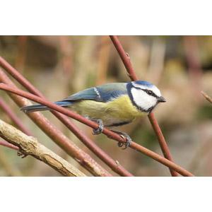 フリー写真, 動物, 鳥類, 鳥(トリ), アオガラ