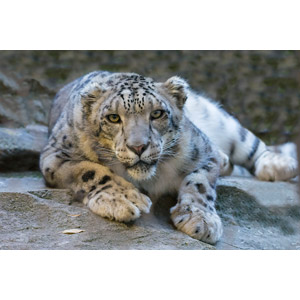 フリー写真, 動物, 哺乳類, 豹(ヒョウ), 雪豹(ユキヒョウ)