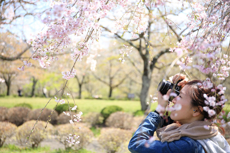 フリー写真 カメラで桜の花の写真を撮る女性