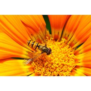 フリー写真, 動物, 昆虫, 虻(アブ), 植物, 花, 黄色の花