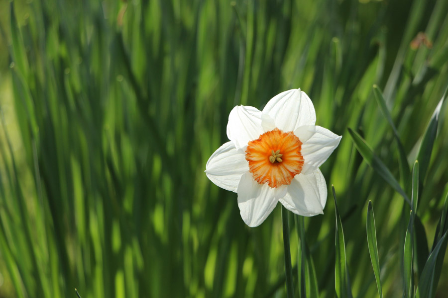 フリー写真 水仙の花