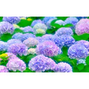 フリー写真, 植物, 花, 紫陽花(アジサイ), 花畑, 梅雨, 6月
