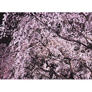 フリー写真, 風景, 樹木, 花, 桜(サクラ), ピンク色の花, 夜桜, 夜, 春