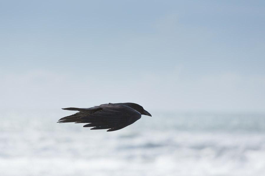 フリー写真 滑空しているカラス