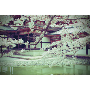 フリー写真, 風景, 建造物, 建築物, 寺院, お寺(仏閣), 桜(サクラ), 春, 日本の風景, 京都府, 平等院