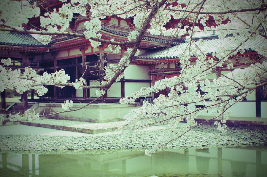 フリー写真 京都府宇治市の平等院と桜の花の風景