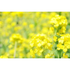 フリー写真, 植物, 花, 菜の花(アブラナ), 黄色の花, 春, 花畑