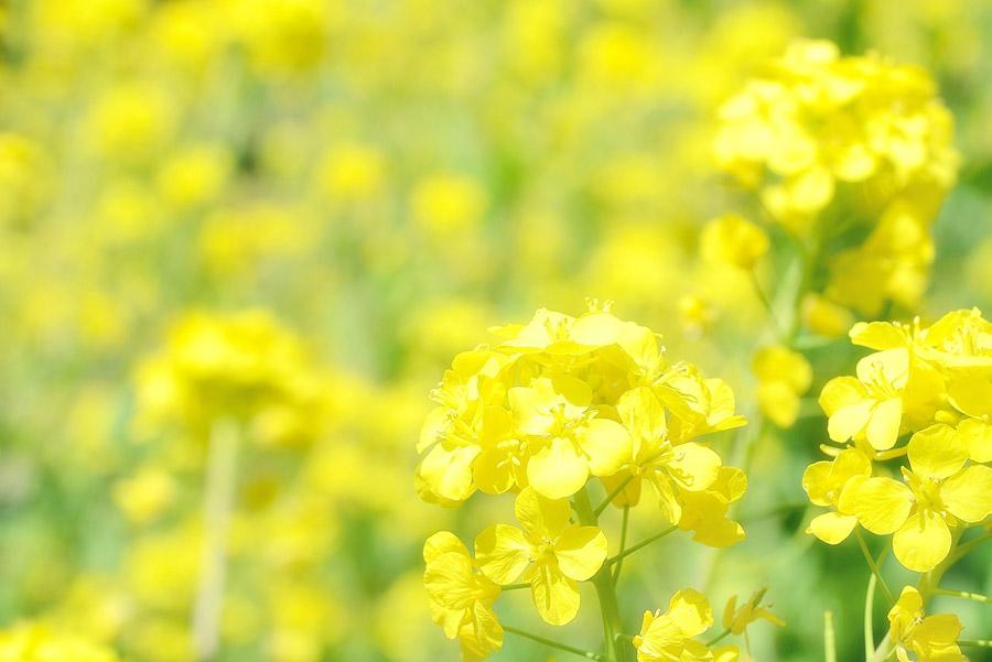 フリー写真 黄色の菜の花