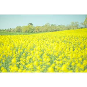 フリー写真, 風景, 植物, 花, 菜の花(アブラナ), 黄色の花, 春, 花畑, 日本の風景