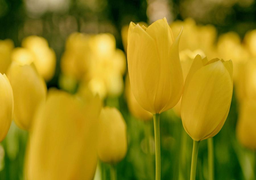 フリー写真 黄色のチューリップ