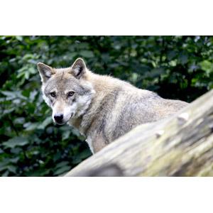 フリー写真, 動物, 哺乳類, 狼(オオカミ)