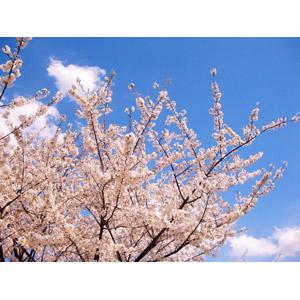 フリー写真, 風景, 自然, 花, 桜(サクラ), ピンク色の花, 青空, 枝, 日本の風景
