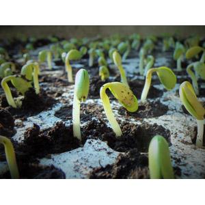 フリー写真, 作物, 大豆(ダイズ), 新芽