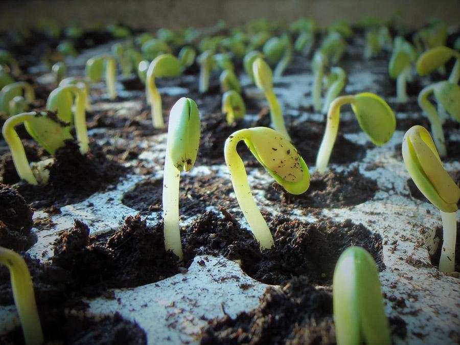 フリー写真 発芽した大豆