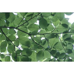 フリー写真, 植物, 葉っぱ, 新緑, 緑色(グリーン), 枝