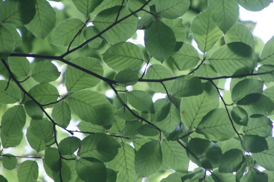 フリー写真 新緑の葉っぱ