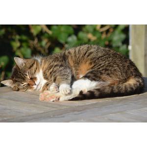 フリー写真, 動物, 哺乳類, 猫(ネコ), キジ白猫, 寝る(動物)