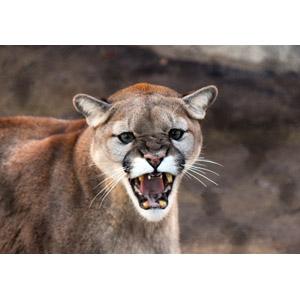 フリー写真, 動物, 哺乳類, ピューマ, 怒る(動物), 口を開ける(動物)
