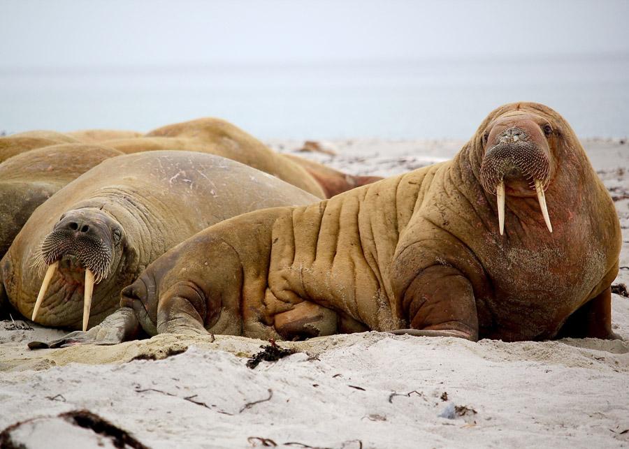 フリー写真 砂浜で休んでいるセイウチ