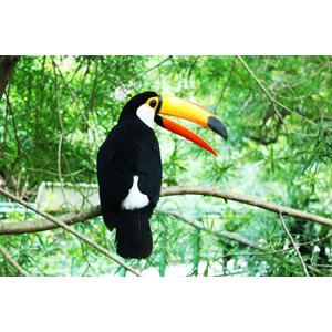 フリー写真, 動物, 鳥類, 鳥(トリ), オオハシ, オニオオハシ