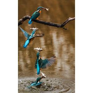 フリー写真, フォトレタッチ, 動物, 鳥類, 鳥(トリ), カワセミ, 魚(サカナ)