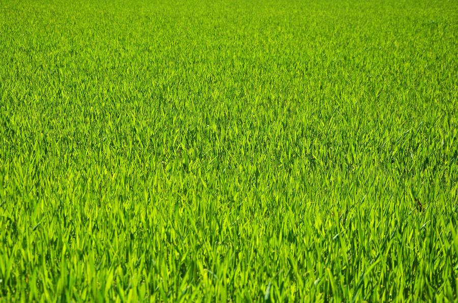 フリー写真 一面の緑色の草