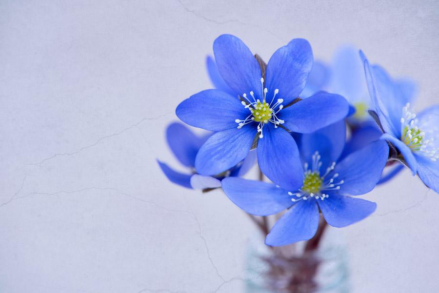 フリー写真 ミスミソウの花