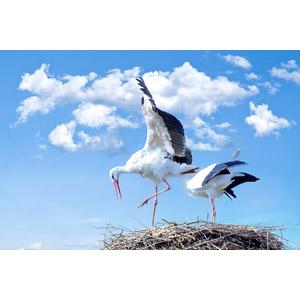 フリー写真, 動物, 鳥類, 鳥(トリ), コウノトリ, 鳥の巣, シュバシコウ, 青空