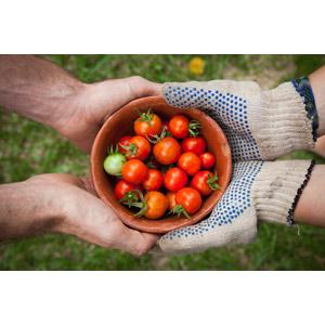フリー写真, 人体, 手, 軍手, 食べ物(食料), 野菜, ミニトマト
