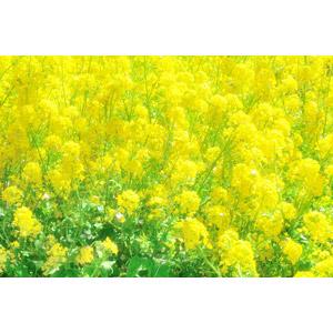フリー写真, 植物, 花, 菜の花(アブラナ), 黄色の花, 春, 花畑, 黄色(イエロー)