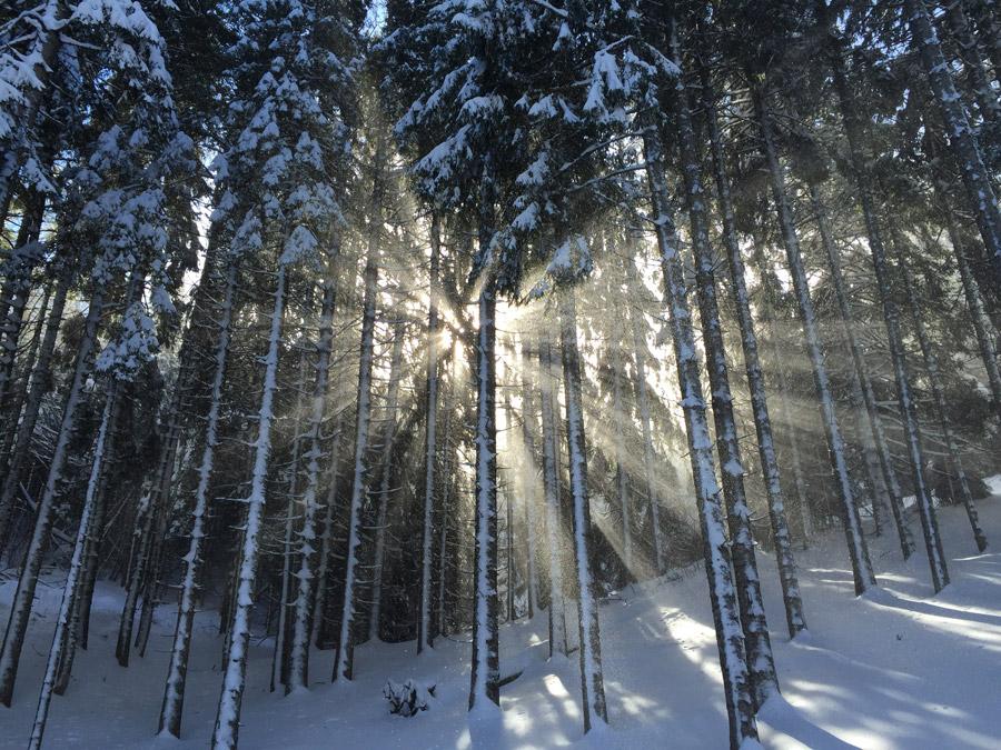フリー写真 雪を被った森の木々と木漏れ日の風景